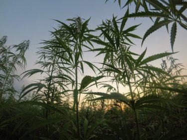 参入相次ぐ南アの大麻ビジネス、小農は危機に?